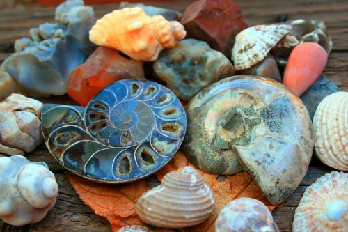 Shells With Ammonite Fossil