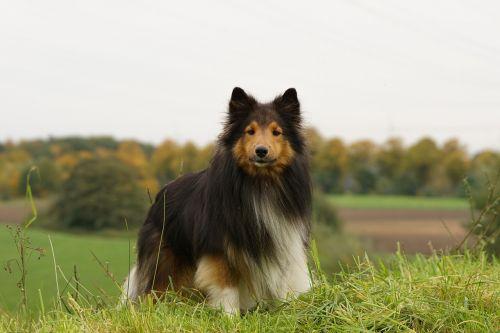 sheltie dog meadow