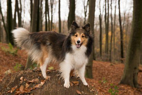 sheltie dog forest