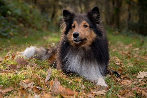 sheltie dog lying