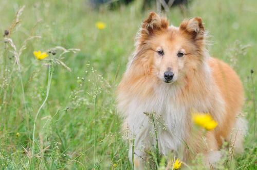 sheltie dog animal