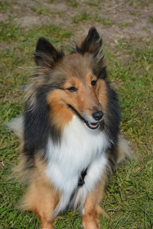 long-haired collie dog cute