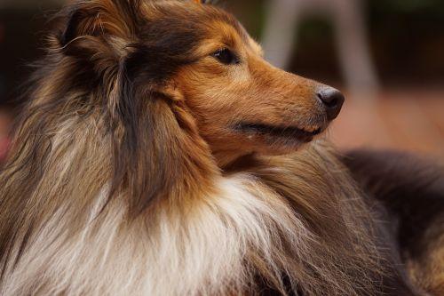 sheltie dog animal portrait