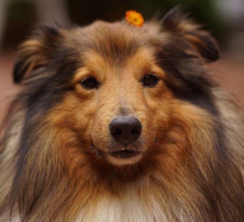 sheltie dog's nose dog
