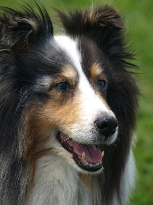 sheltie dog pet