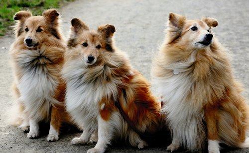 shelties  dog  sheltie