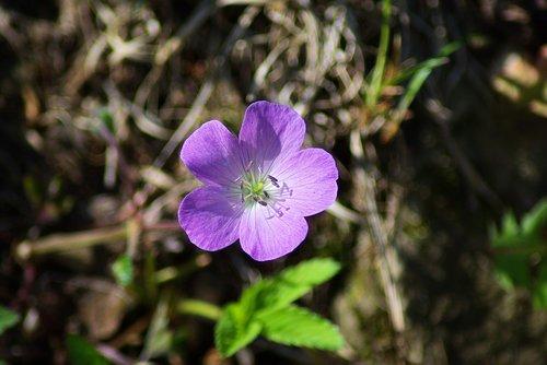 shenandoah wild geranium  shenandoah  national