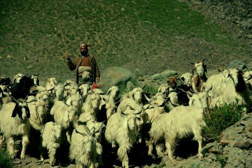 shepherd ladakh india