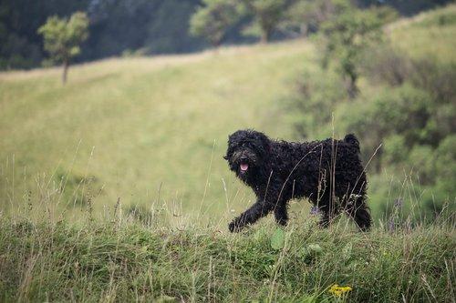 shepherd dog  shepherd  dog