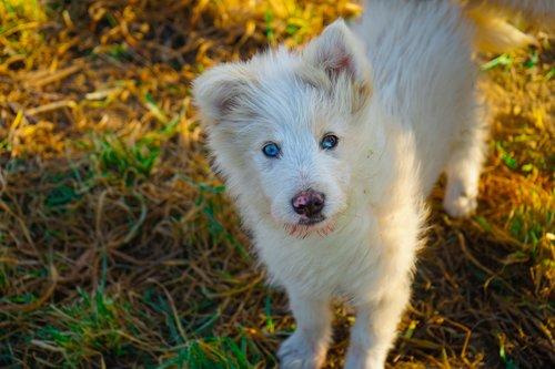 shepherd dog  puppy  dog