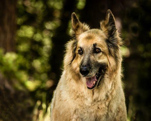 shepherd mix dog pet