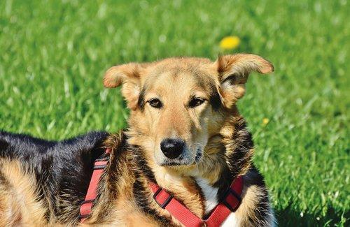 shepherd mongrel  mixed breed dog  dog