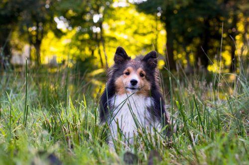 dog sheltie animal portrait