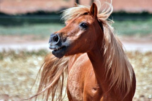 shetland chestnut pony
