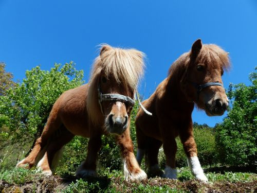 shetland ponies ponies wuschelig