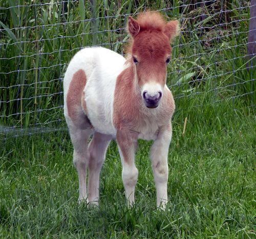shetland pony foal mini pony