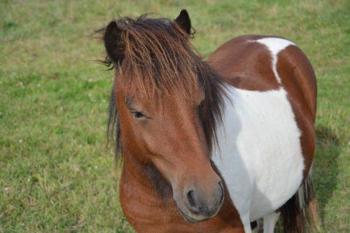 shetland pony small horse portrait