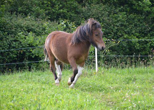 shetland pony running run