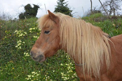 shetland pony small horse hair washed