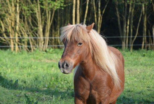 shetland pony  pony glamour  mane