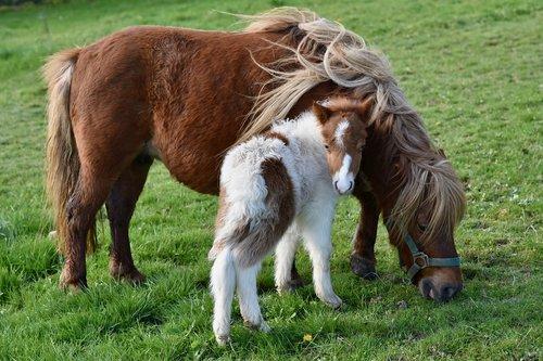 shetland pony  shetland pony with baby foals  shetland pony glamour