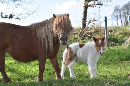 shetland pony  pony shetland glamour  tenderness