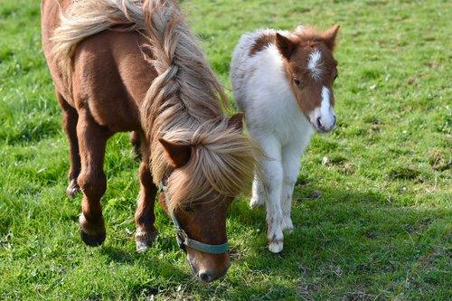 shetland pony  foal shetland  small horses