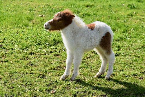 shetland pony  small horse  equine
