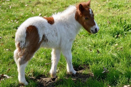 shetland pony  foal  shetland pony jarod