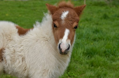 shetland pony  pony jarod  small horse