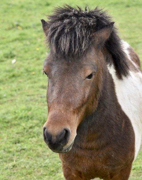 shetland pony  pony  portrait pony