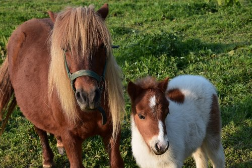 shetland pony  mother pony and her foal  small horse