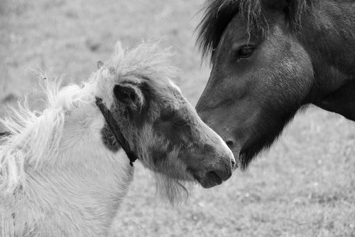 shetland pony  black and white photo  kisses