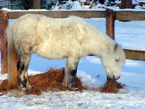 shetland pony horse pony