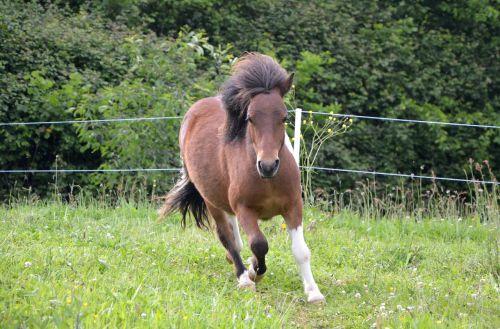 shetland pony running mane wind