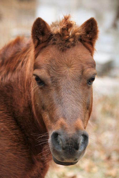 Shetland Pony Unicorn