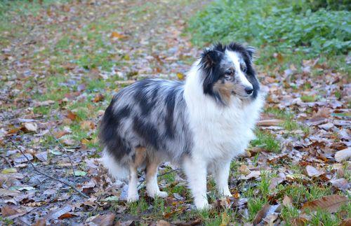 shetland sheepdog dog color