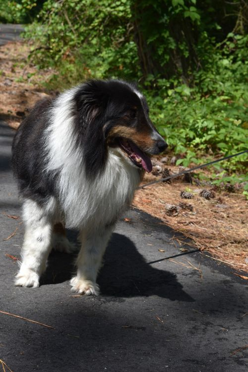 shetland sheepdog dog sheepdog