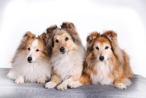 shetland sheepdog  pet  dog