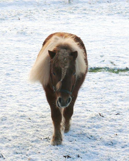 shetlander,sniegas,ganykla,eržilas,gamta,pieva,išrūgų,arklys,ponis,lapė