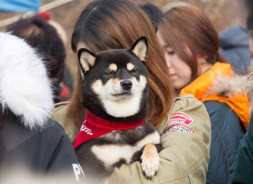 shiba inu puppy shiva