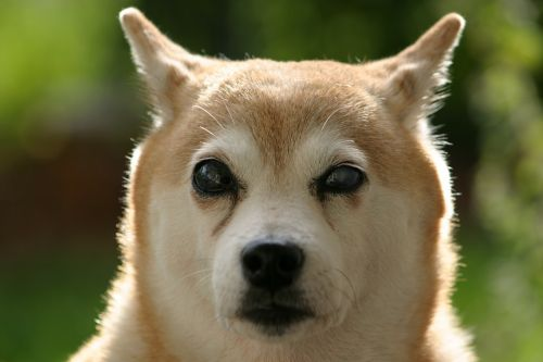 shiba inu dog blind