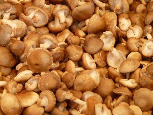 shiitake mushroom medicinal mushrooms