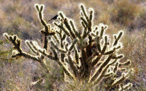 shimmer bird cactus