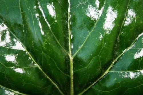 shiny green leaf