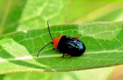 shiny flea beetle beetle bug