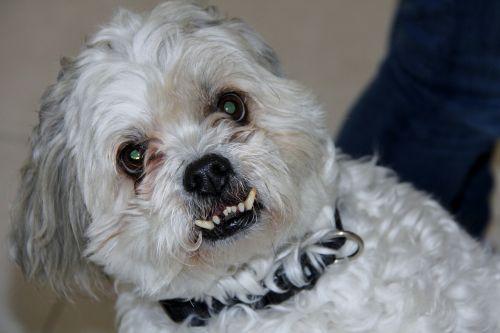 shitzu maltese dog