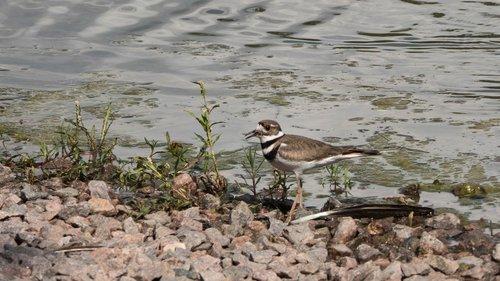shorebirds  sandpiper  birds