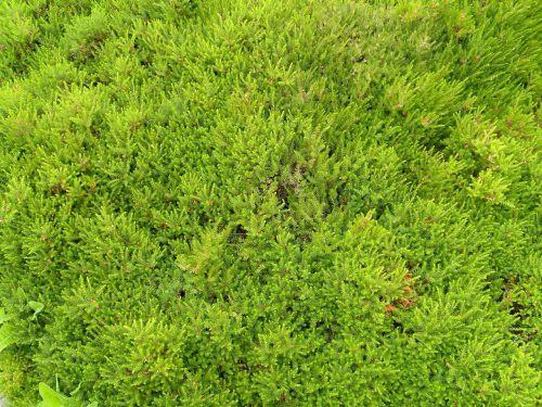 short variety grass