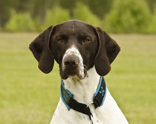 short haired german shorthaired pointer dog hunting dog